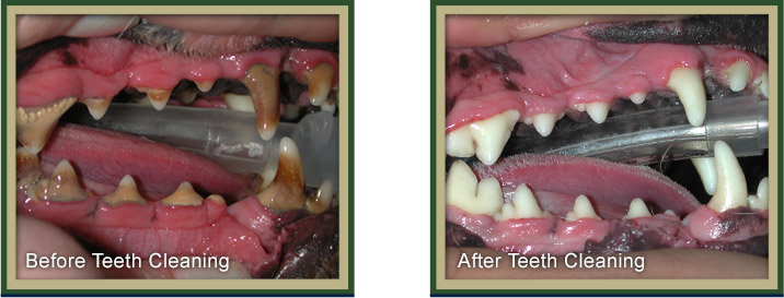 Dog's Teeth Before and After Cleaning